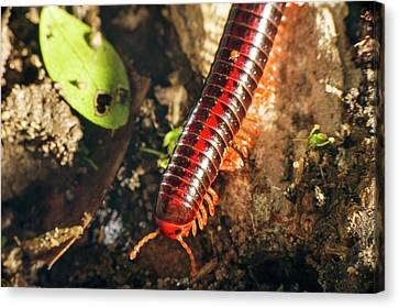 Millipede Canvas Print by Philippe Psaila