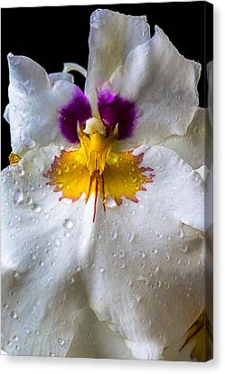 Miltonia White Orchid With Dew Canvas Print by Garry Gay