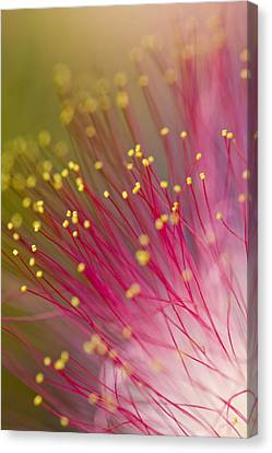 Mimosa Blossom 3 Canvas Print by Dan Wells