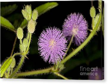 Mimosa Pudica  Canvas Print by Anthony Totah