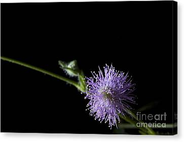 Mimosa Pudica Canvas Print by Cheryl Hurtak