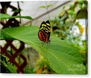Mindo Butterfly Poses Canvas Print by Al Bourassa