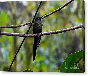 Mindo Hummingbird In The Rain Canvas Print by Al Bourassa