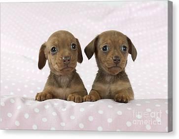 Miniature Dachshund Puppies Canvas Print