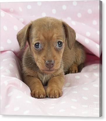 Miniature Dachshund Puppy Canvas Print