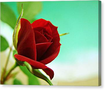 Canvas Print featuring the photograph Miniature Rose by Kathy Churchman