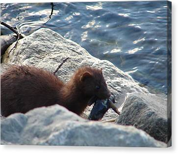 Mink With A Round Goby Canvas Print