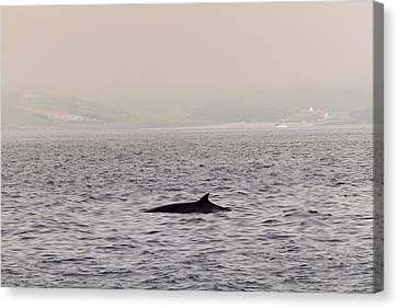 Minke Whale Canvas Print by Kai Bergmann