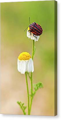 Minstrel Bug (graphosoma Lineatum) Canvas Print by Photostock-israel