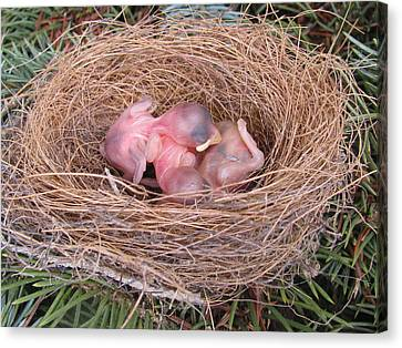 Canvas Print featuring the photograph Miracle Of Birth _ Baby Robins by Margaret Newcomb