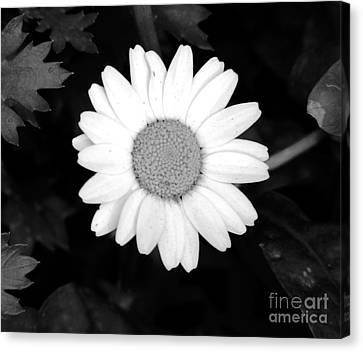Miss Daisy Canvas Print by Andrea Anderegg