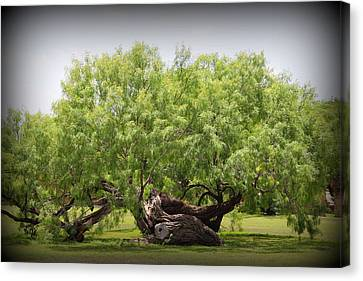 Mission Espada - Tree Canvas Print by Beth Vincent