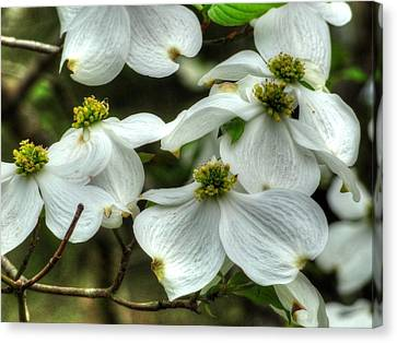 Canvas Print featuring the photograph Mississippi Dogwood II by Lanita Williams