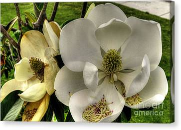 Mississippi Magnolia Canvas Print by Maddalena McDonald