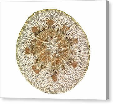 Mistletoe (viscum Album) Stem Canvas Print by Dr Keith Wheeler
