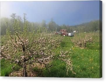 Misty Apple Blossoms Canvas Print by John Burk