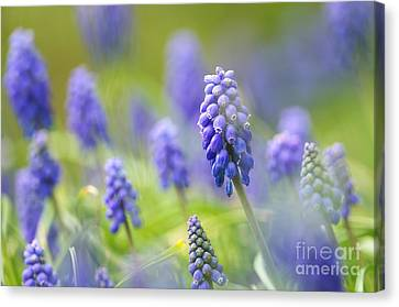 Misty Blues 2 Canvas Print by Sharon Talson