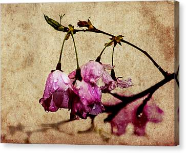 Misty Cherry Blossoms Canvas Print by Jon Woodhams