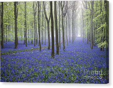 Misty Dawn Bluebell Wood Canvas Print by Tim Gainey