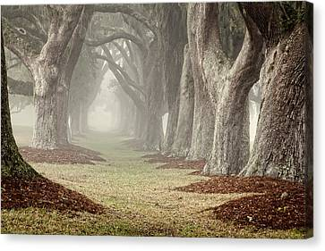 Misty Morning Avenue Of Oaks Canvas Print by Barbara Northrup
