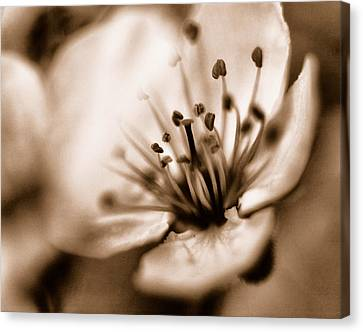 Canvas Print featuring the photograph Misty Plumb Blossom by Robert Culver