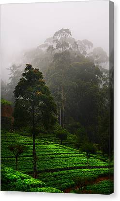 Misty Tea Plantations In Nuwara Eliya  Canvas Print by Jenny Rainbow