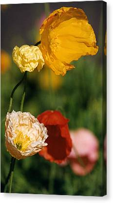 Mixed Color Poppies Canvas Print