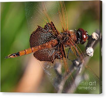 Mocha And Cream Dragonfly Profile Canvas Print by Kenny Glotfelty