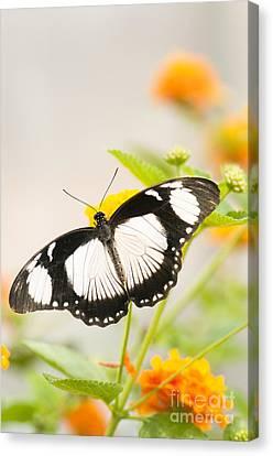 Mocker Swallowtail Canvas Print by Anne Gilbert