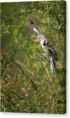 Mockingbird Canvas Print by Bill Wakeley