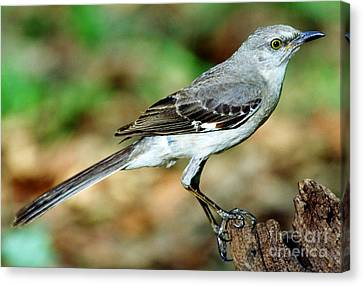 Mockingbird Canvas Print by Millard H. Sharp