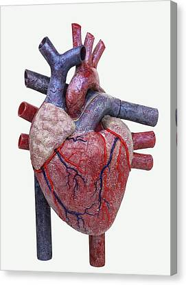 Model Of A Human Heart Canvas Print by Dorling Kindersley/uig