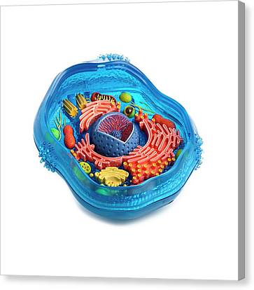 Model Of An Animal Cell Canvas Print by Science Photo Library