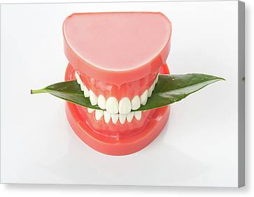 Model Of The Human Teeth Canvas Print by Wladimir Bulgar