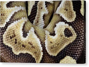 Mojave Royal Python Canvas Print by Nigel Downer