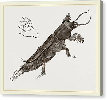 Mole-cricket Canvas Print