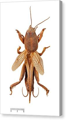 Mole Cricket Canvas Print by Natural History Museum, London