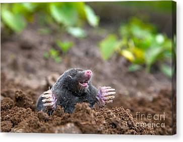 Mole In Ground Canvas Print by Michal Bednarek