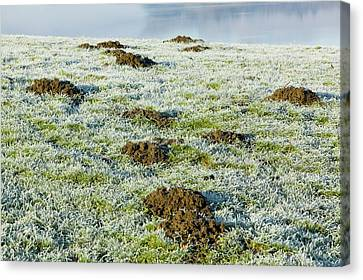 Molehills In A Frosty Field Canvas Print by Ashley Cooper