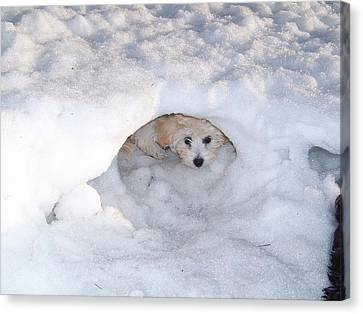 Molly Hidding In Her Snow Cave Canvas Print