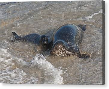 Canvas Print featuring the photograph Mom And Baby Harbor Seal by Lee Kirchhevel