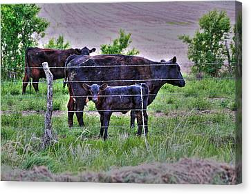 Mom And Calf Canvas Print by Jason Drake