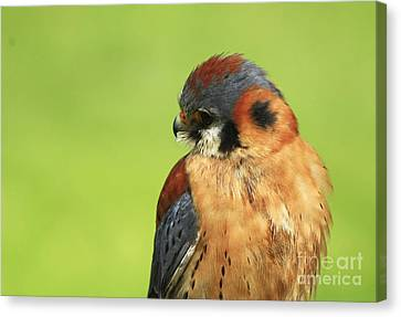 Moments Of Beauty American Kestrel Falcon  Canvas Print by Inspired Nature Photography Fine Art Photography