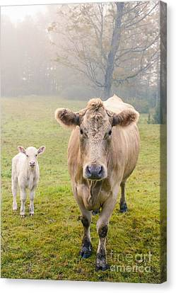 Momma And Baby Cow Canvas Print by Edward Fielding