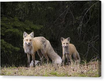 Momma Fox With Her Kit Canvas Print