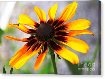 Mom's Black Eyed Susan Canvas Print by Judy Palkimas