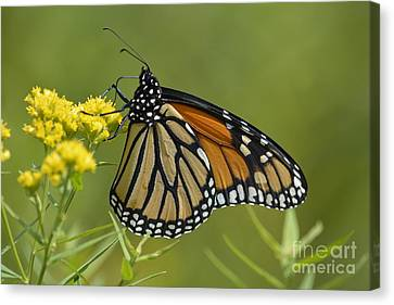 Monarch 2014 Canvas Print by Randy Bodkins