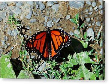 Monarch Canvas Print by Aimee L Maher Photography and Art Visit ALMGallerydotcom
