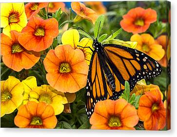 Close Up Floral Canvas Print - Monarch Among The Flowers by Garry Gay