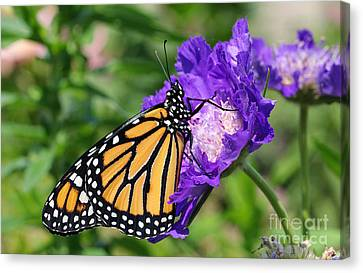 Monarch And Pincushion Flower Canvas Print by Steve Augustin